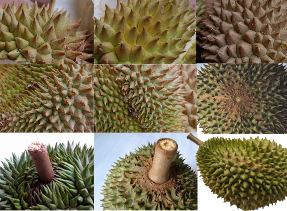 Durian's sharp thorns of different shape and sizes