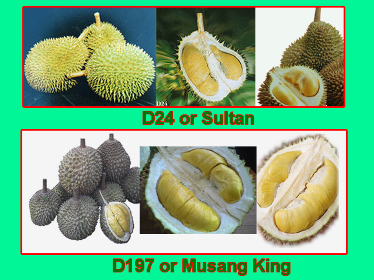 The 2 most popular durian varieties in Malaysia - D24 and D197 populary known as the Musang King or Mau San Wang