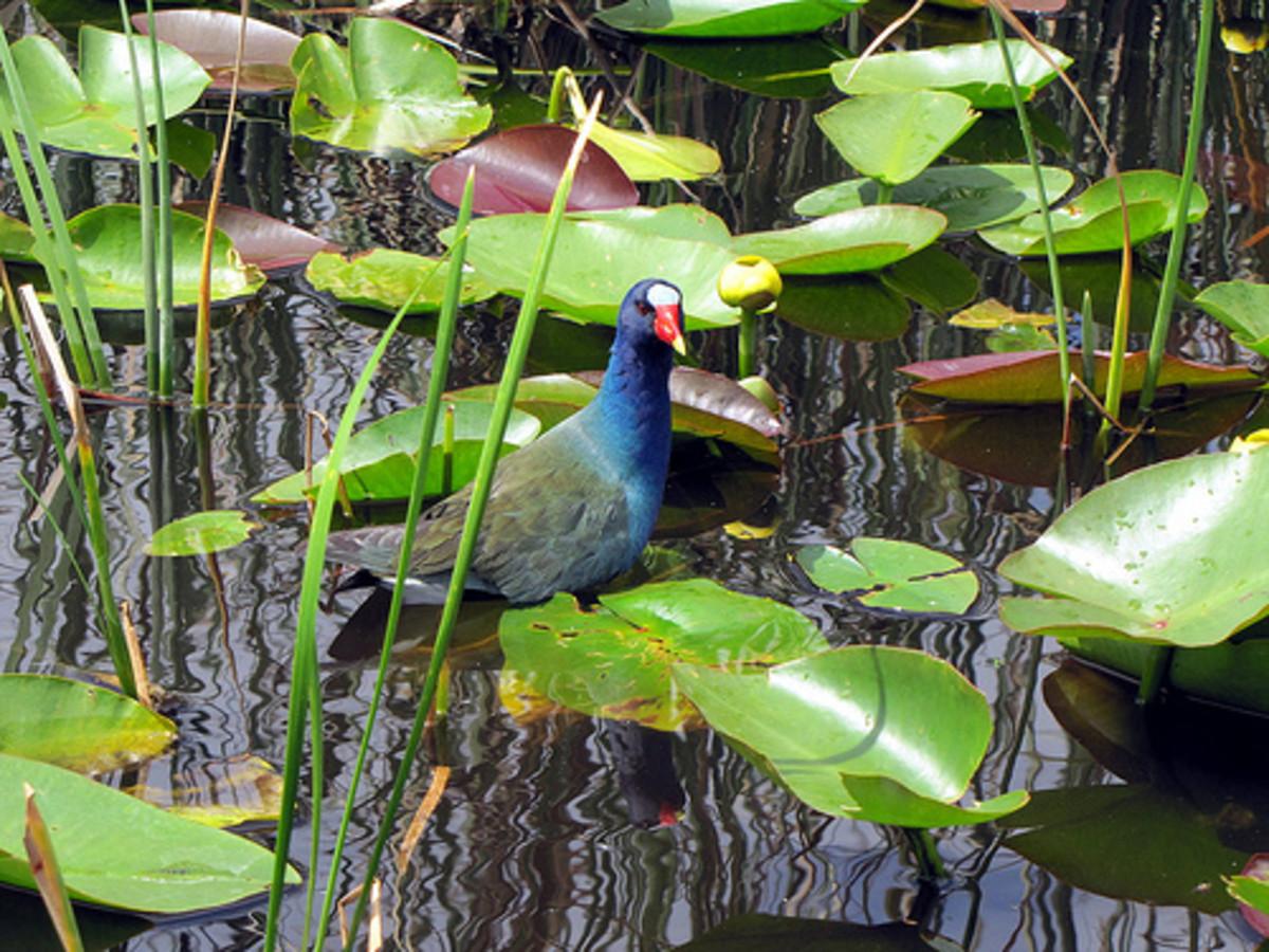Purple Gallinule Bird in the Everglades.