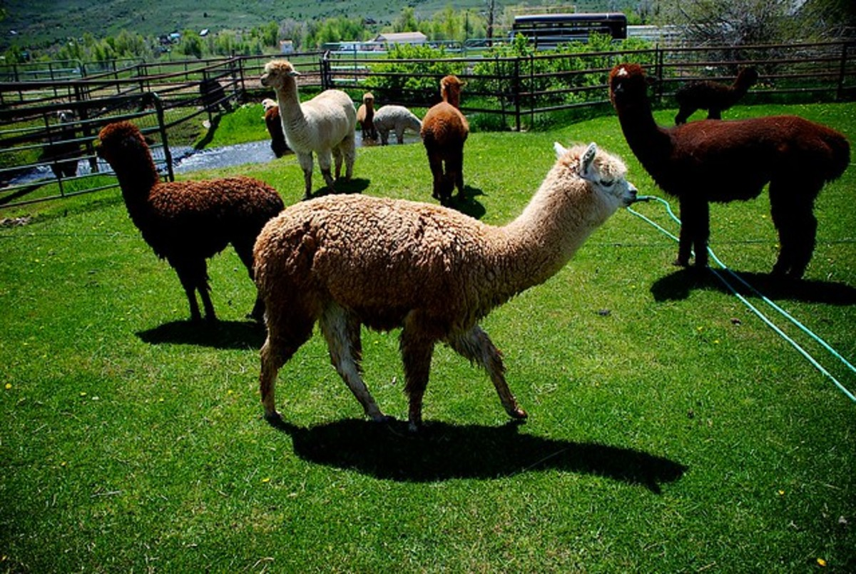 An alpaca ranch.