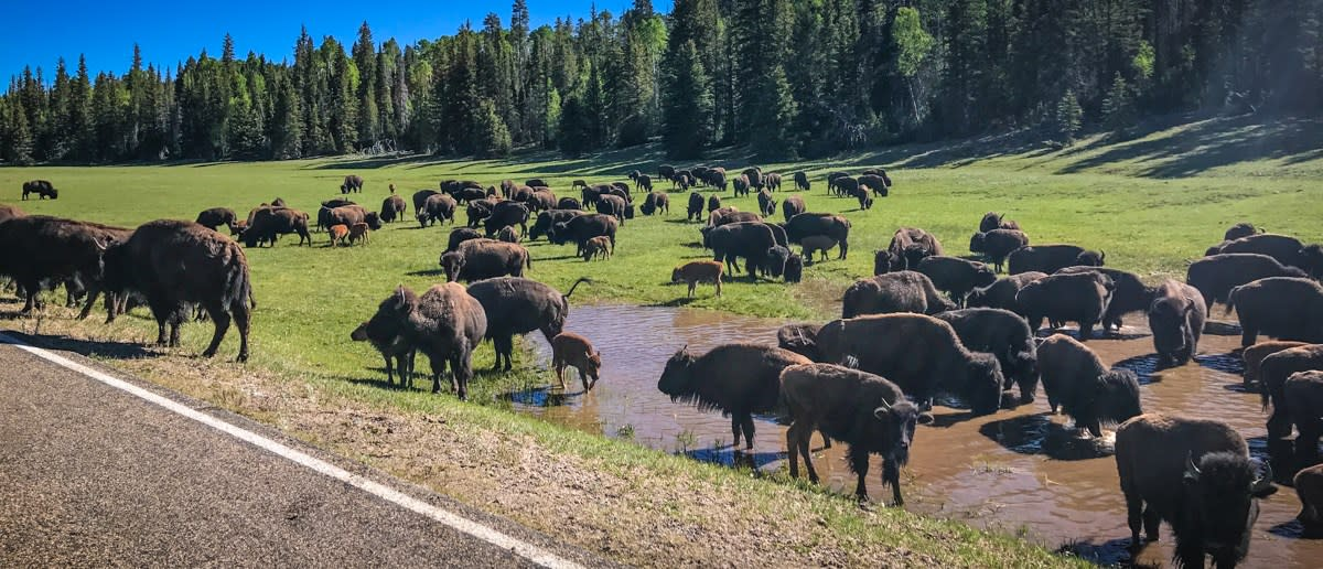Large animal ranching, anyone? Bison ranching is becoming popular in America. Ranch interns find the work interesting.