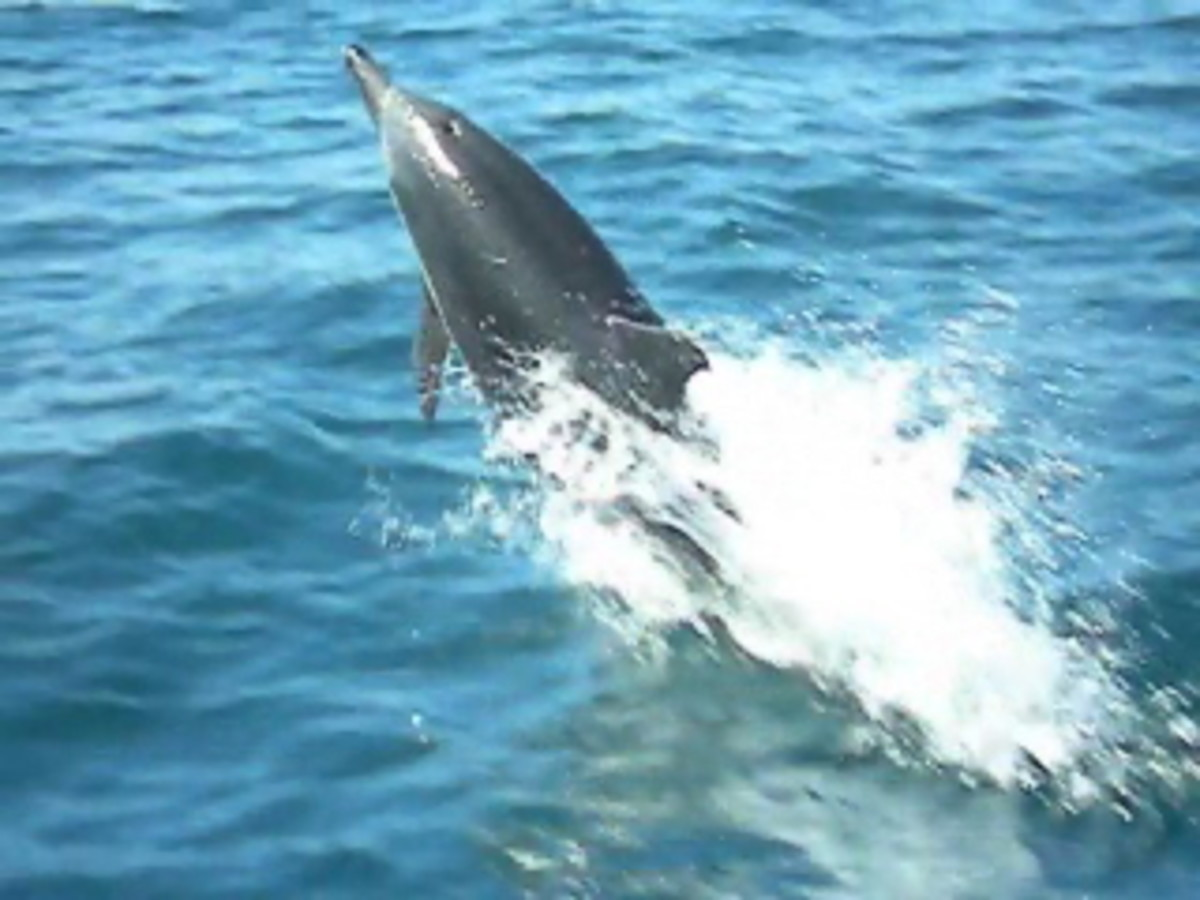A dolphin in the gulf