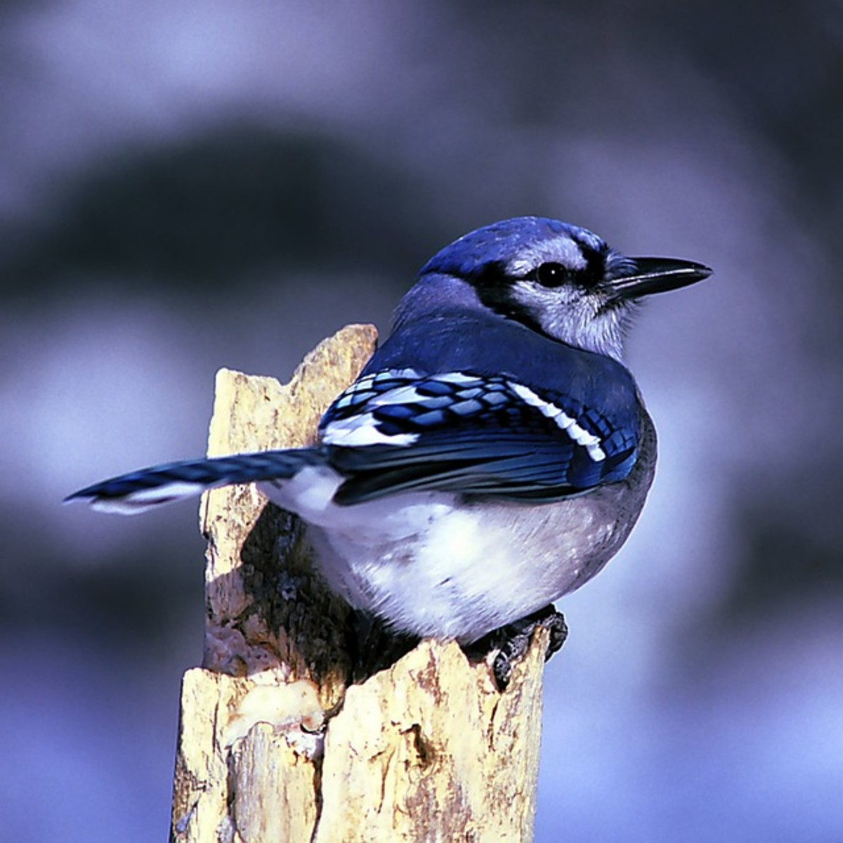 At this particular period of my life, I was going through a lot of changes. The blue jay was the spirit animal that saw me through them, challenged me, and gave me the most wonderful gift I've ever received.