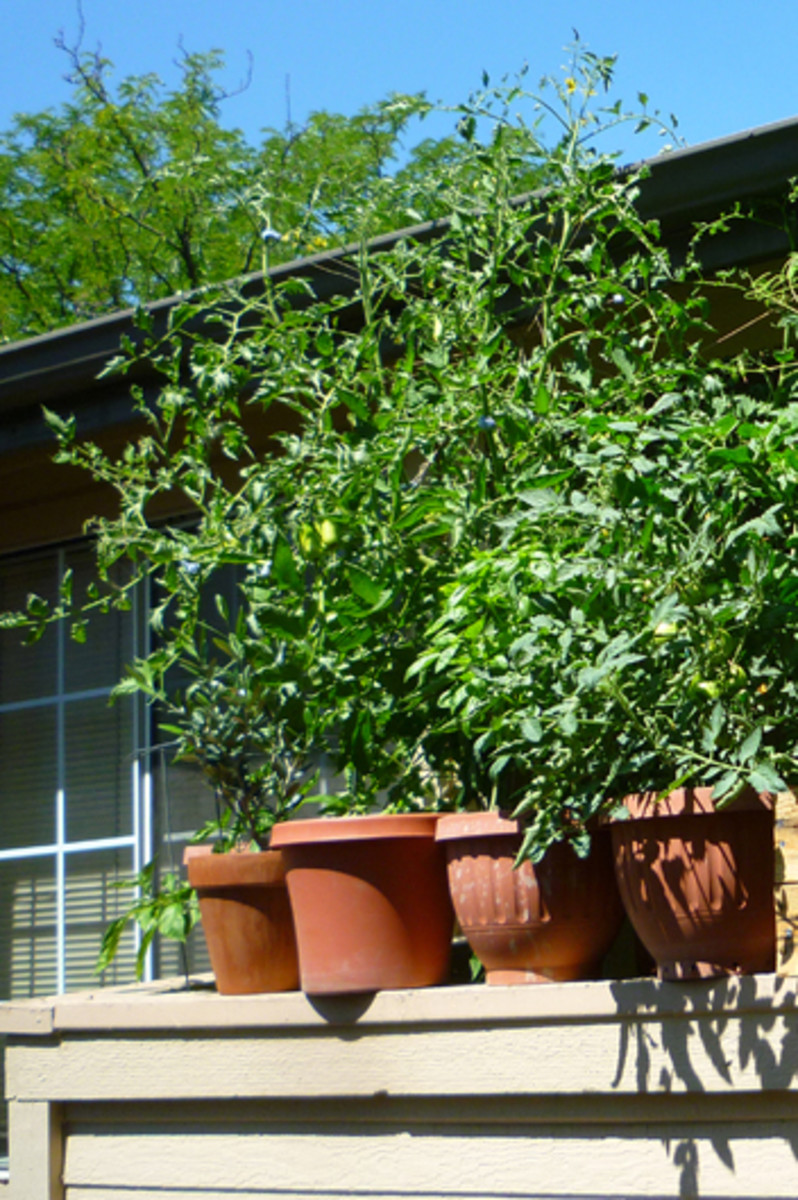 Although it's a bit of a jungle, the tomato plant reaching above the gutter is a Zapotec Tomato plant. Grown in a container, the plant reached over 6 feet tall!