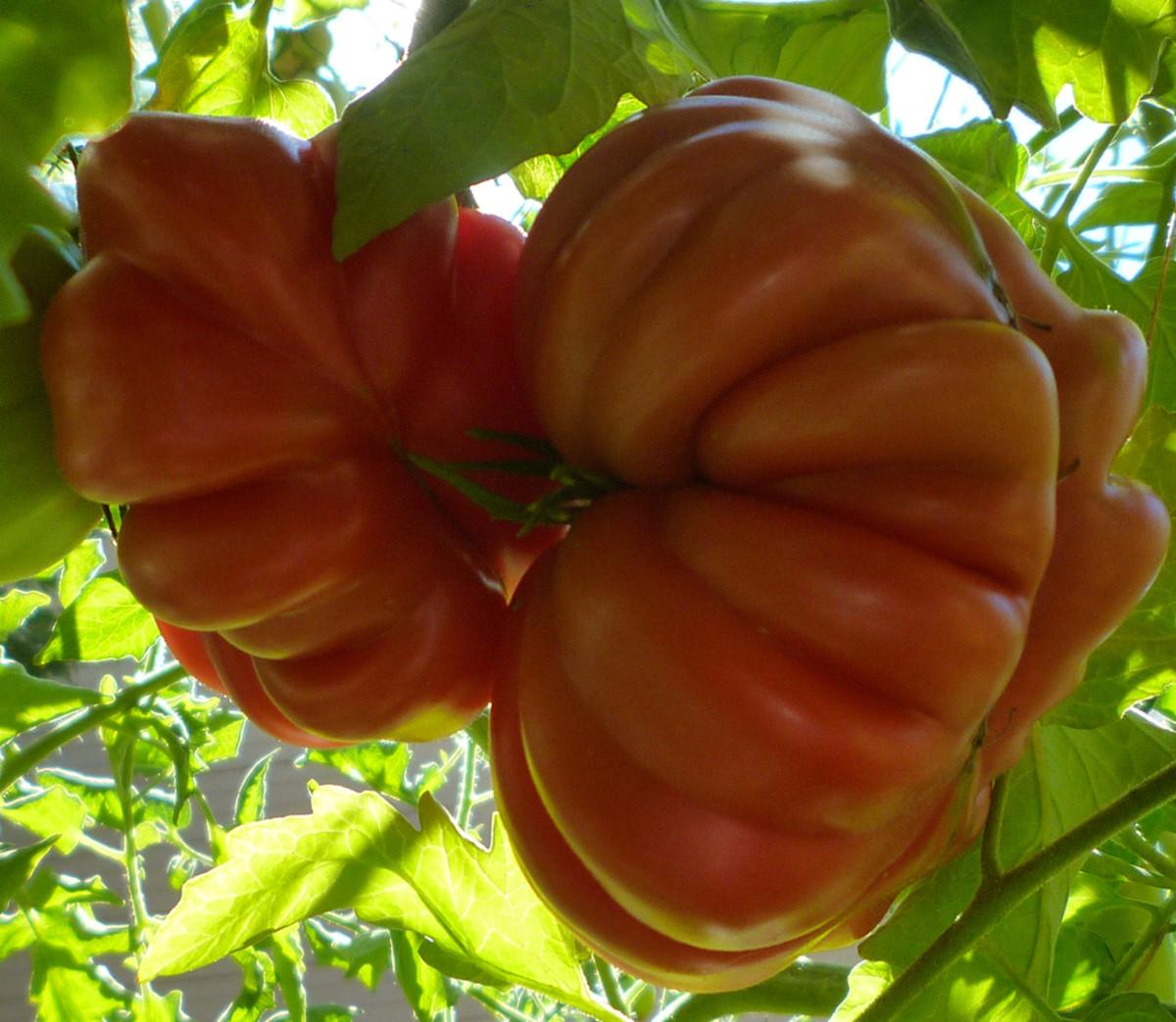 The Pleated Zapotec Heirloom Tomato
