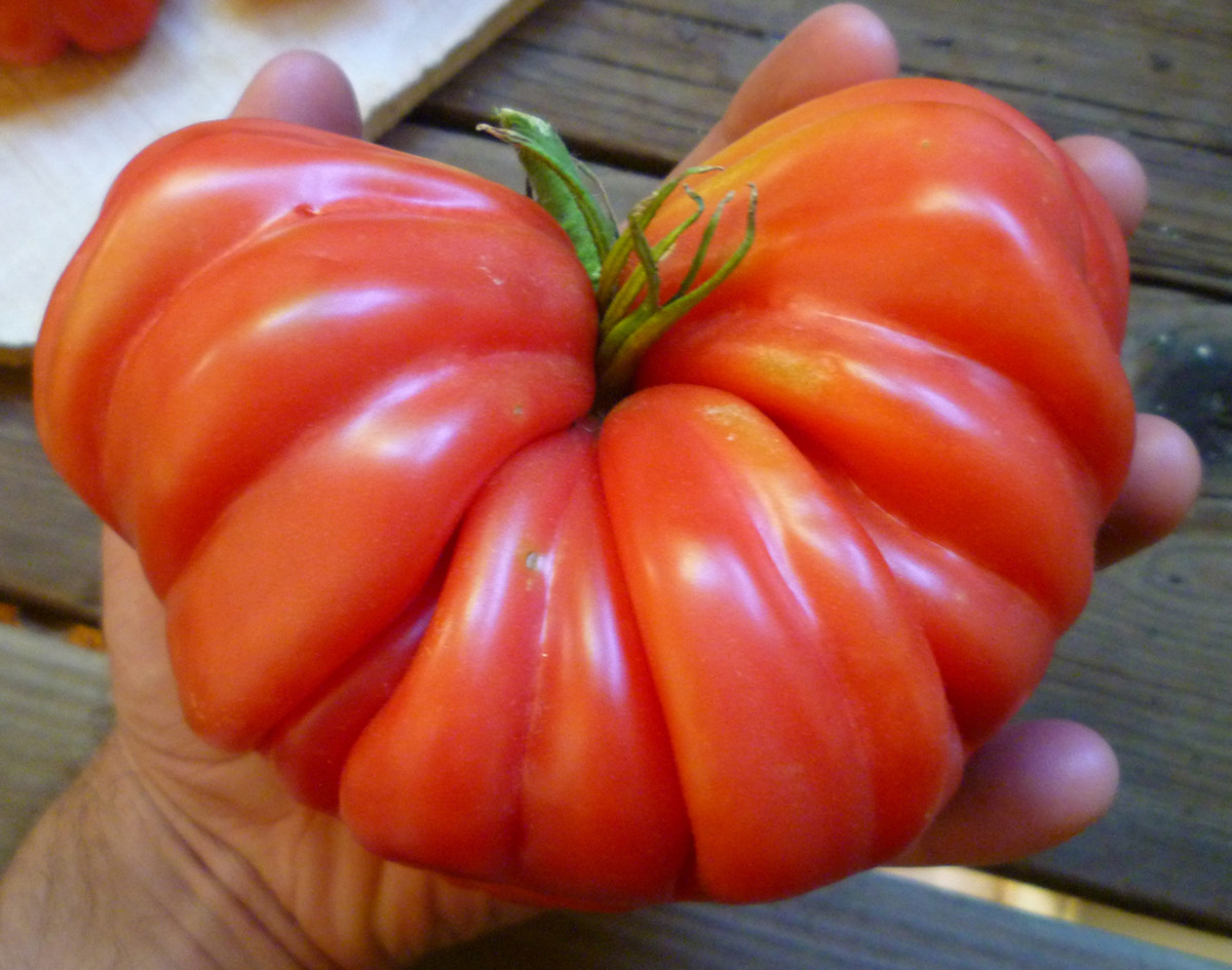 This particular Zapotec tomato from the garden was close to two pounds in weight!