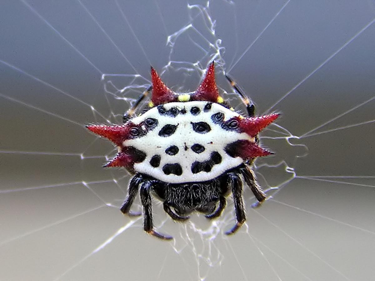 Spiney Orb Web Weaver