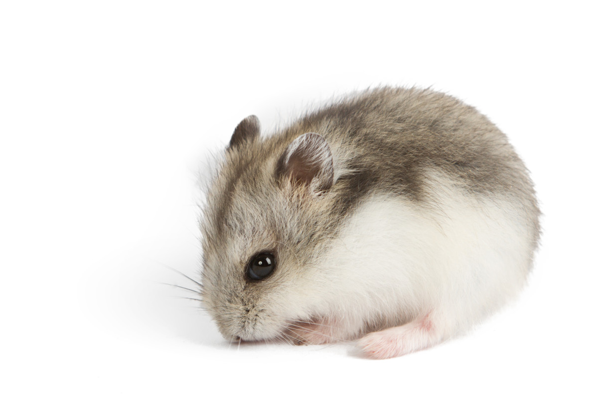 Hamster Breeds Types Of Hamsters Hubpages