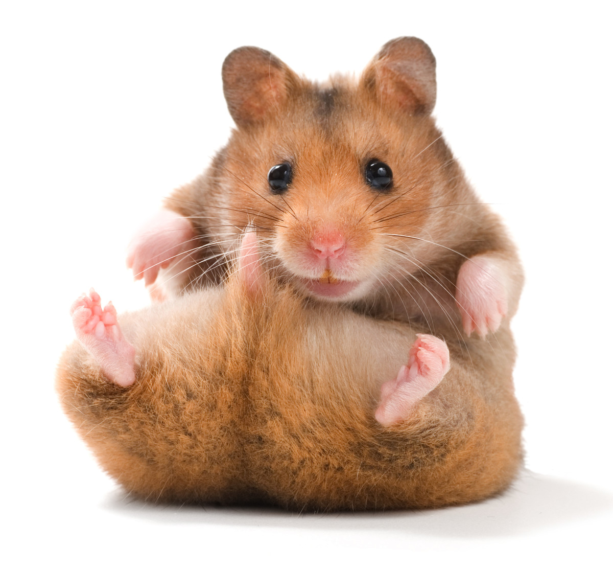 types-of-hamsters-breeds