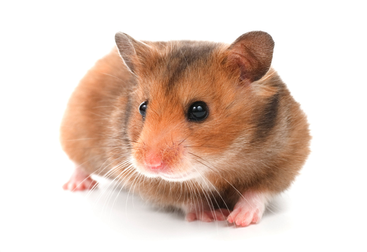 Hamster Breeds: Types of Hamsters | HubPages