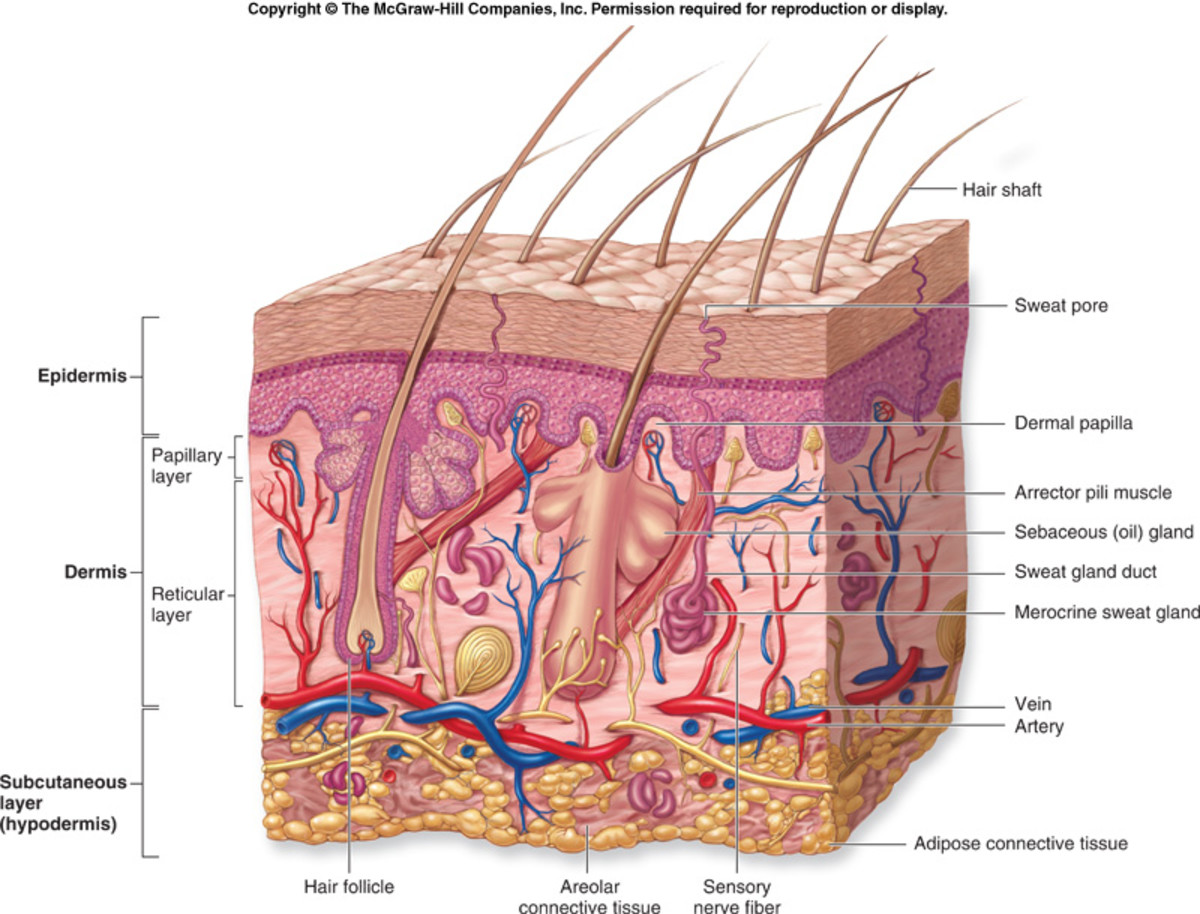 The follicle is directly connected to the blood stream and is not just an inactive and redundant mechanism.