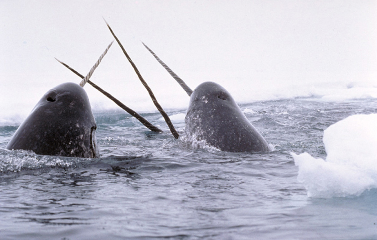 The Narwhal is not on the endangered list.