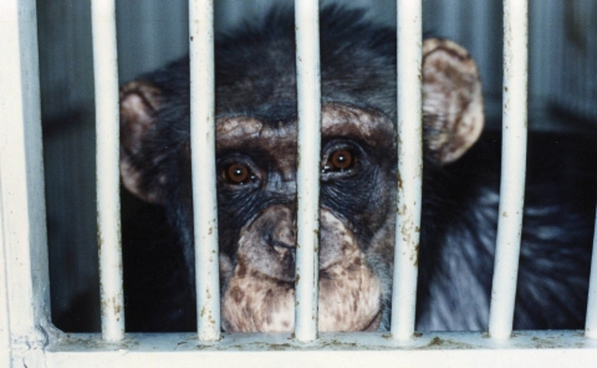 Experimenters on Chimps gave them fatal doses of toxins but the Chimps lived