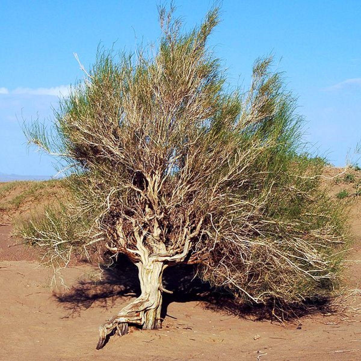 Saxaul (Haloxylon ammodendron) in Mongolia