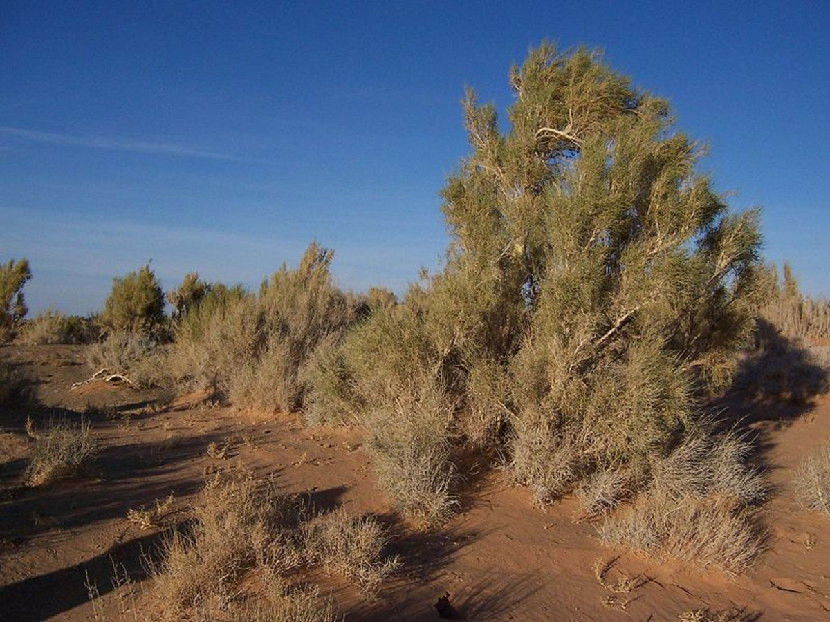 Saxaul tree in the Gobi desert
