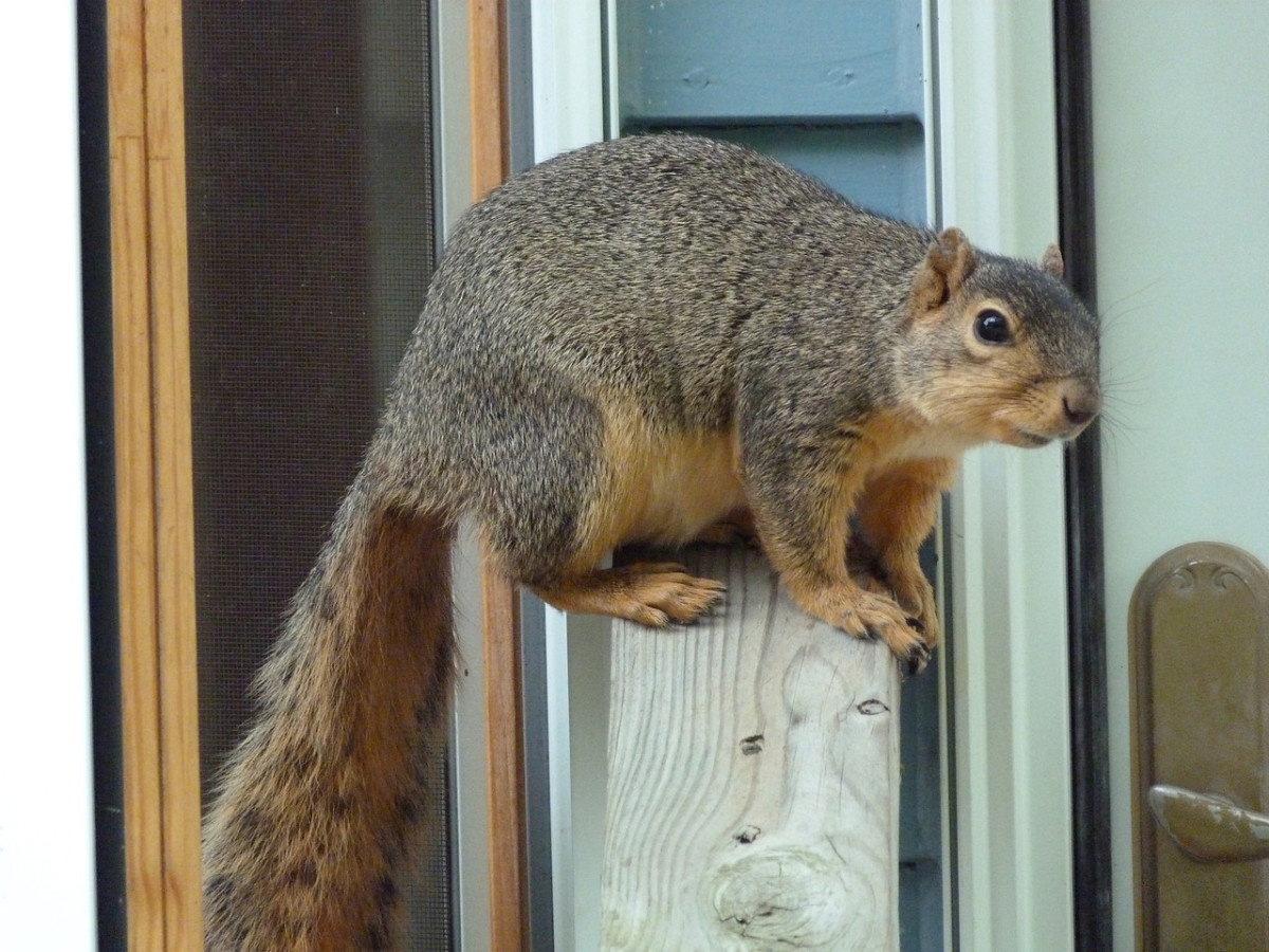 Bold fox squirrel at our back door