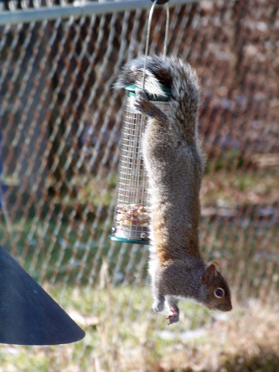 Acrobatic squirrel on our peanut bird feeder