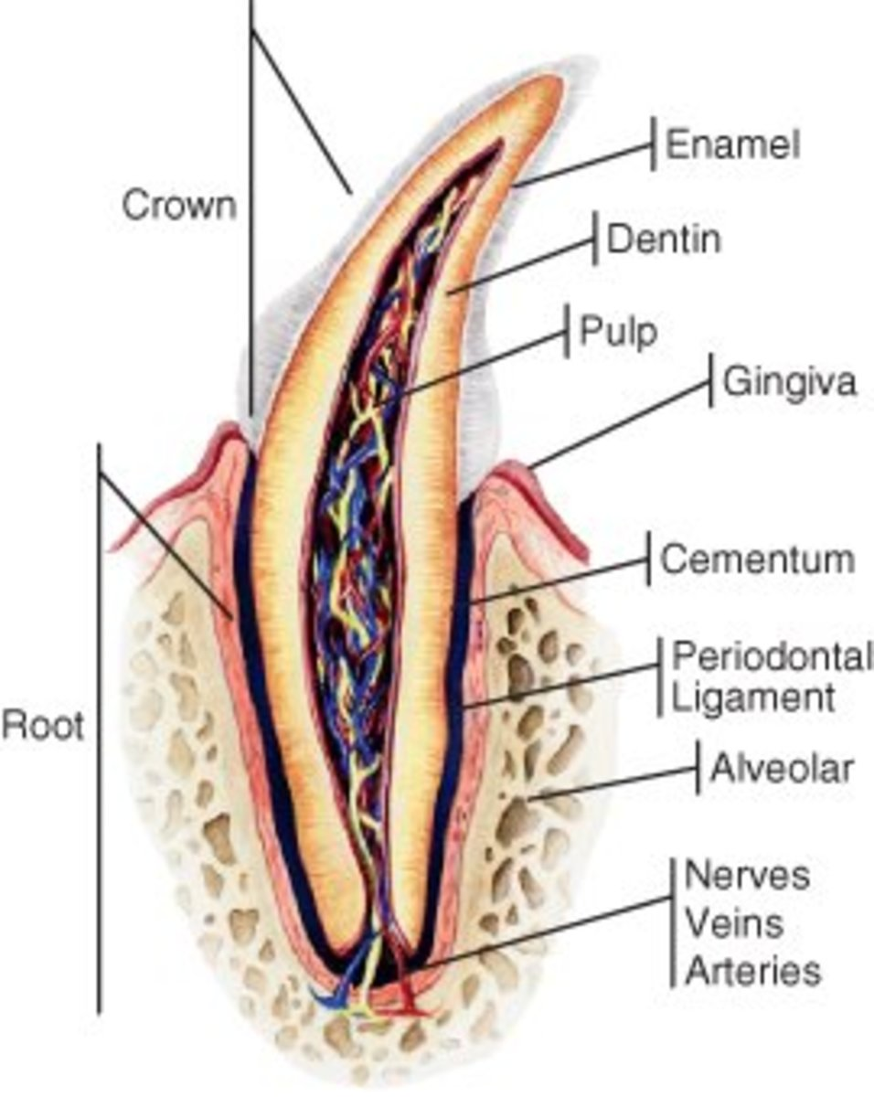 This dog tooth shows how deep roots can be and how the ligaments anchor them to the socket.
