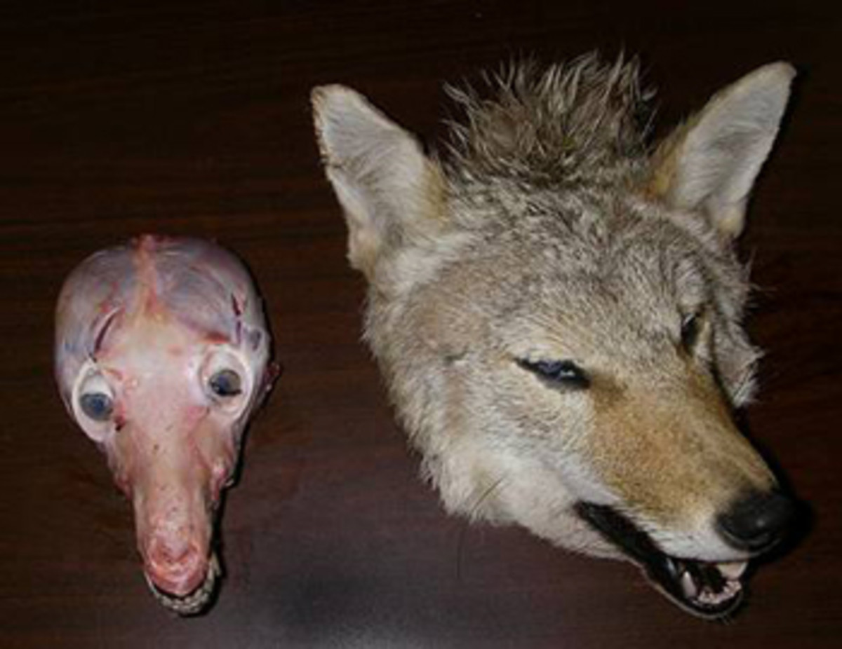 Remove all hide from the head until your skull looks like the one on the left.