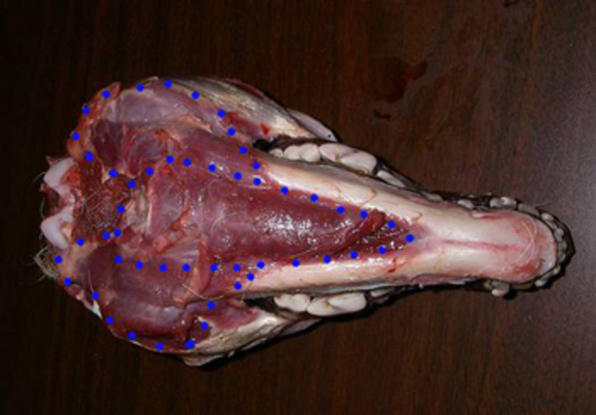 Carefully cut along the blue dotted lines where the majority of muscle mass resides.