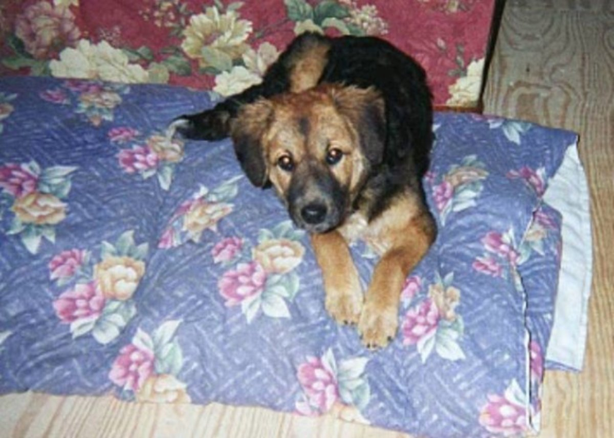 Cookie was malnourished, had no whiskers and a variety of puppy parasites.