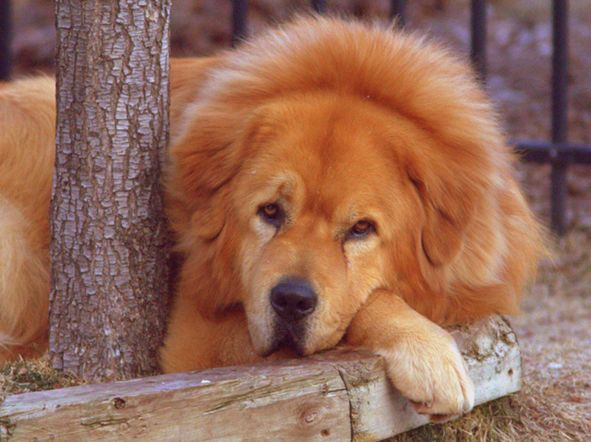 tibetan-mastiff-dog-that-looks-like-a-lion