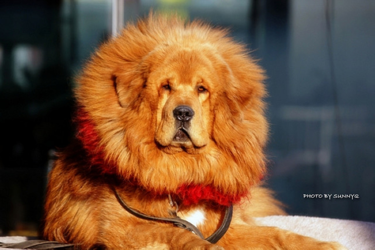 Tibetan Mastiff: The Dog that Looks Like a Lion