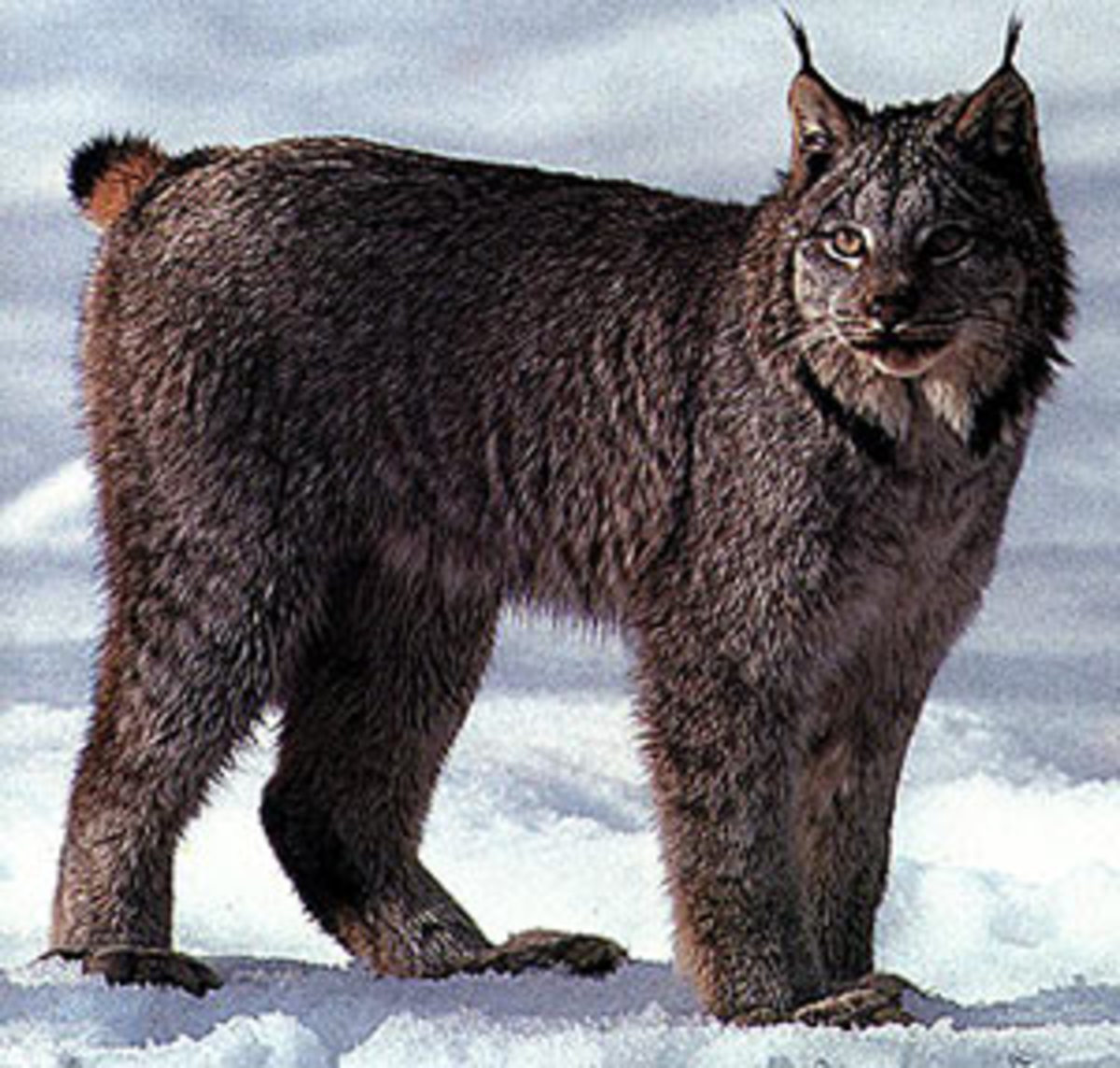 The darker coloring makes this Canadian Lynx look truly badass!
