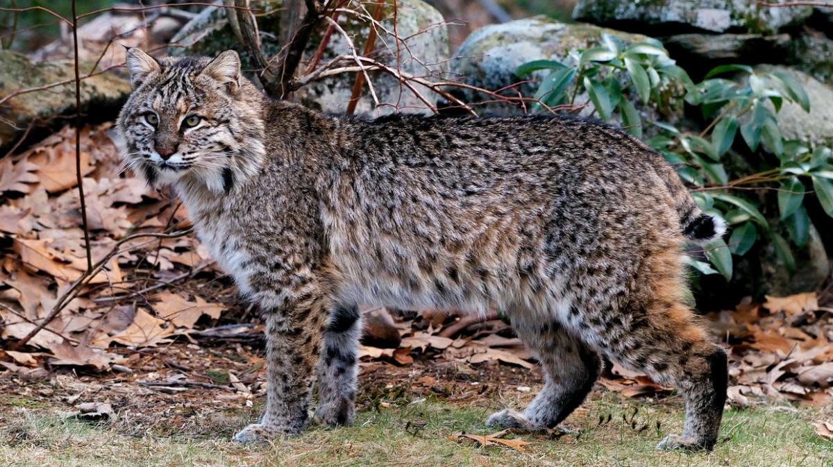the-canada-lynx