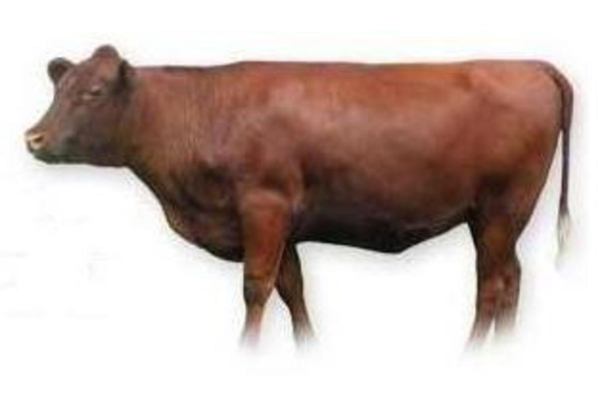 Red heifer.