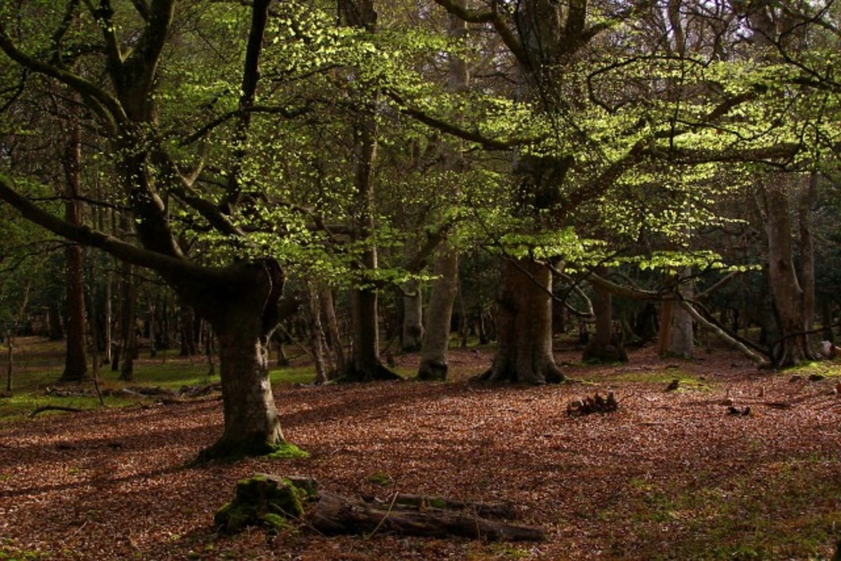 Beautiful Beech Trees in The New Forest, Hampshire