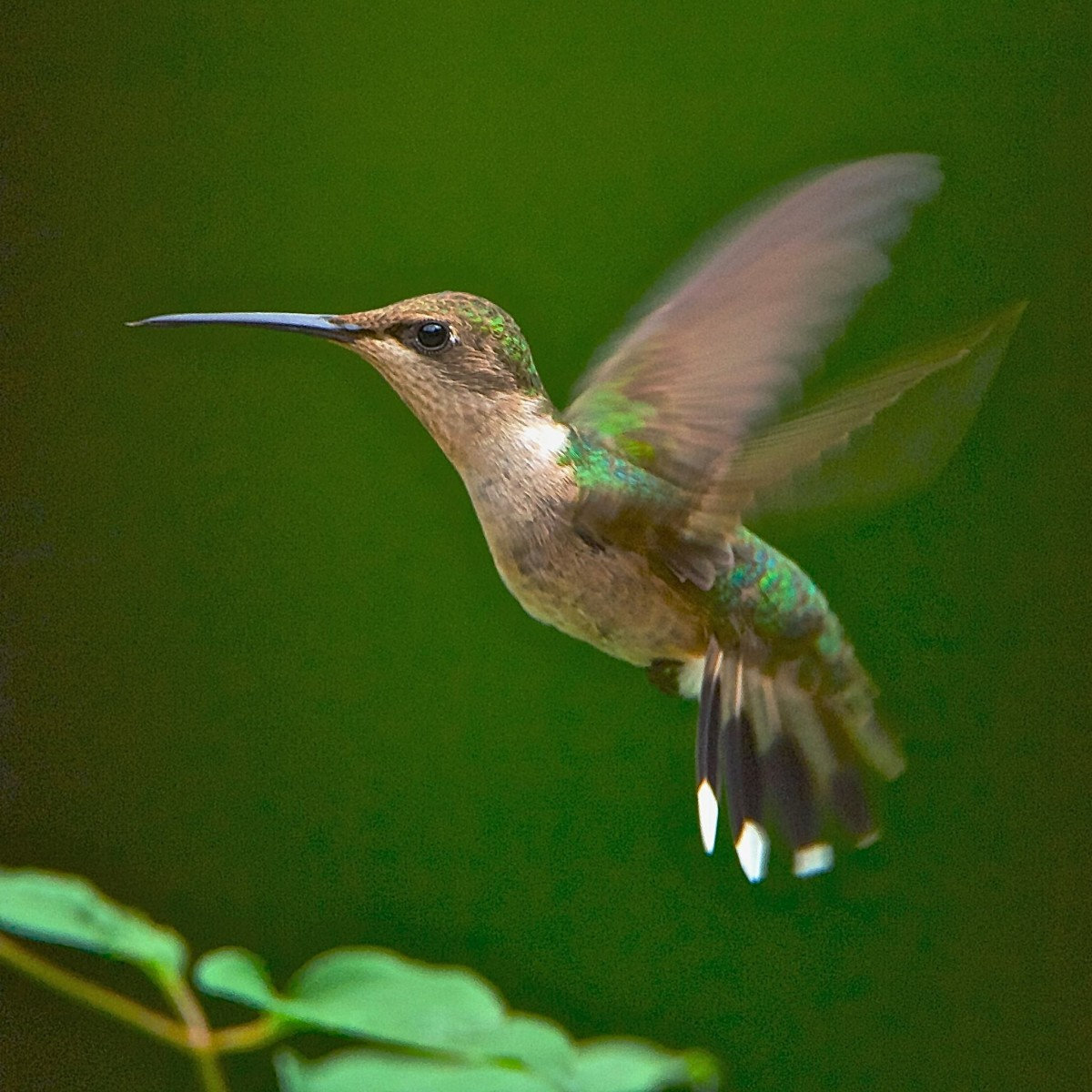 A hummingbird can hover for as long as it wants, which makes viewing them much more enjoyable.