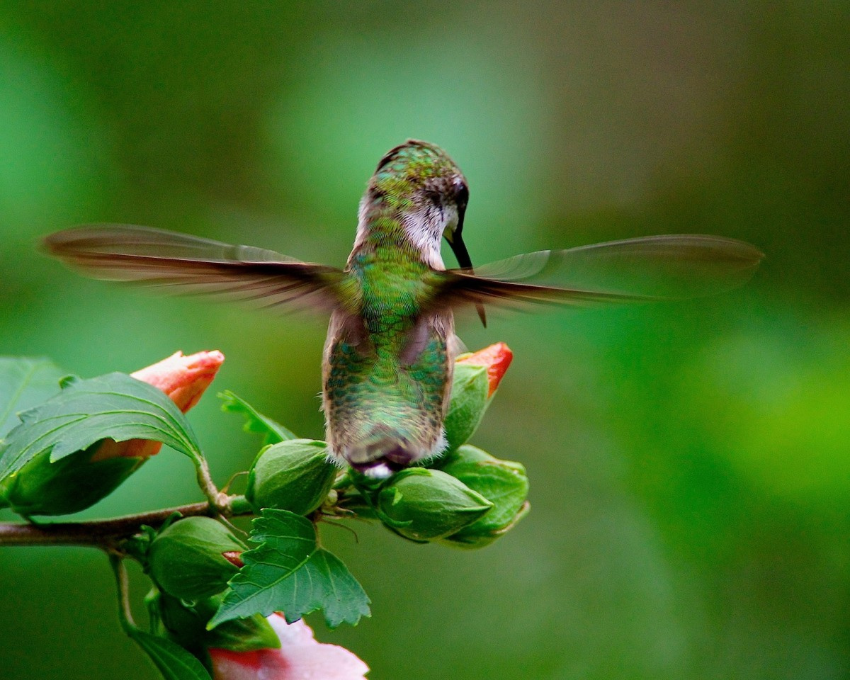 hummingbirds-how-to-attract-them-and-keep-them-returning