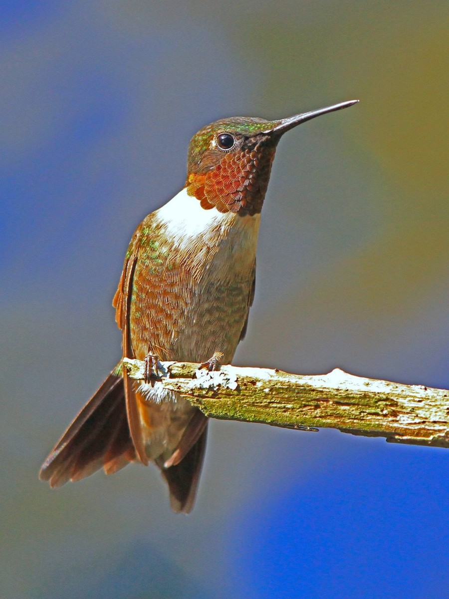 Hummingbirds don't walk or hop; they either perch or fly.
