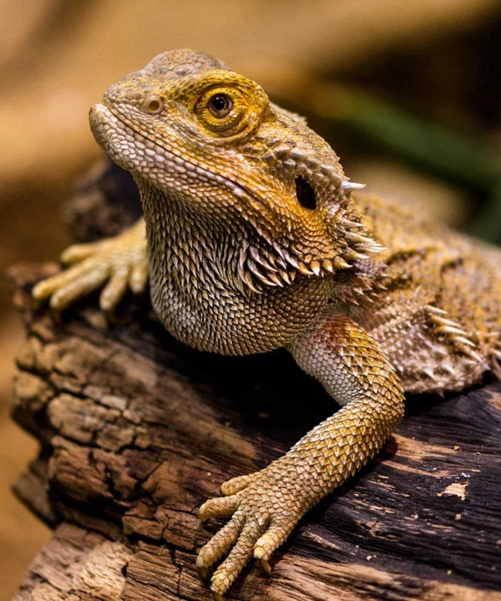 Common Bearded Dragon Antics and Behaviours