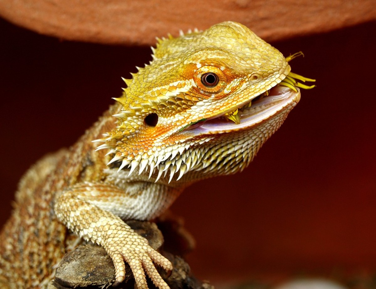 Bearded Dragon Mating Rituals