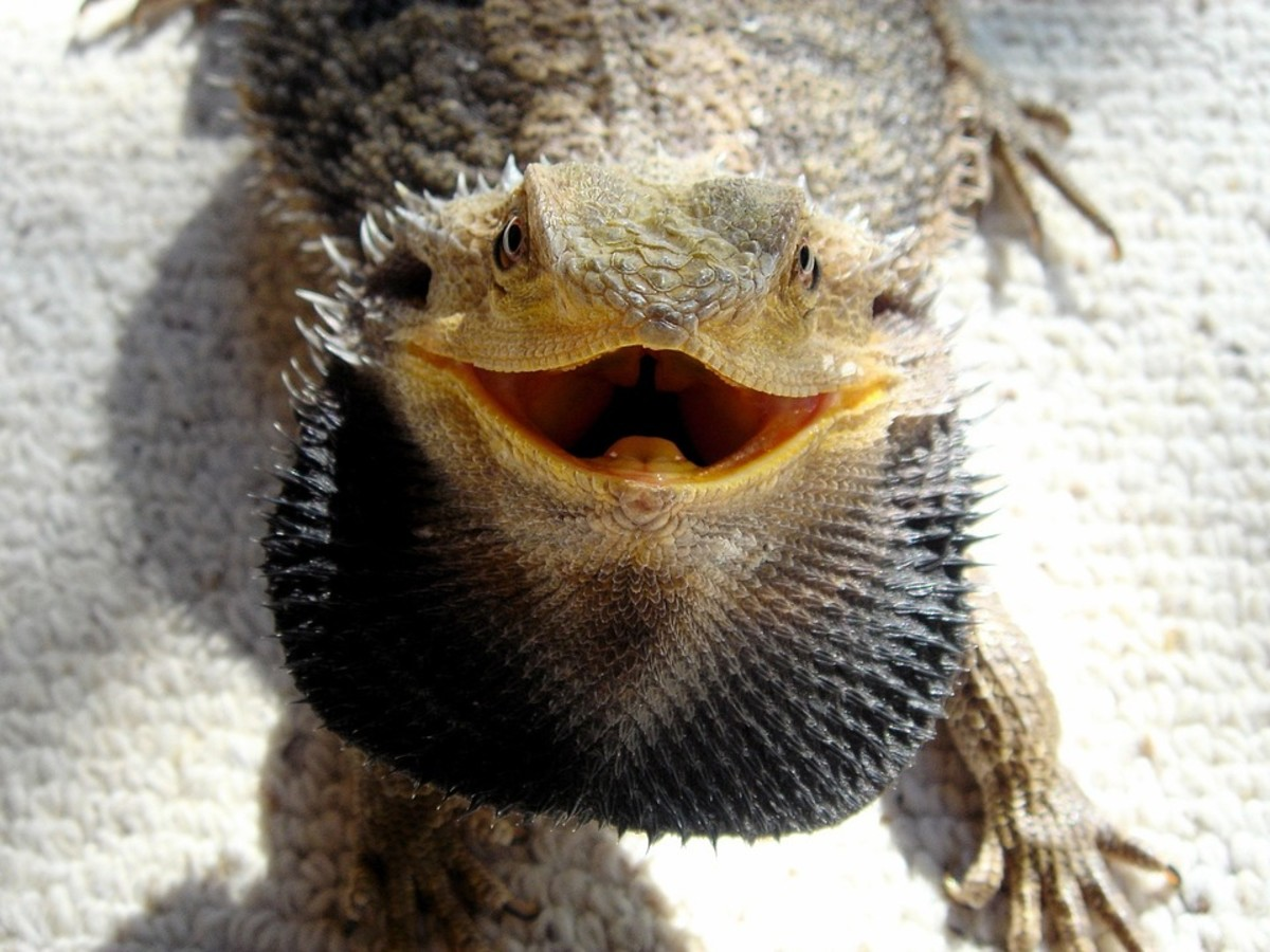 How To Tell If Your Beardie is Angry