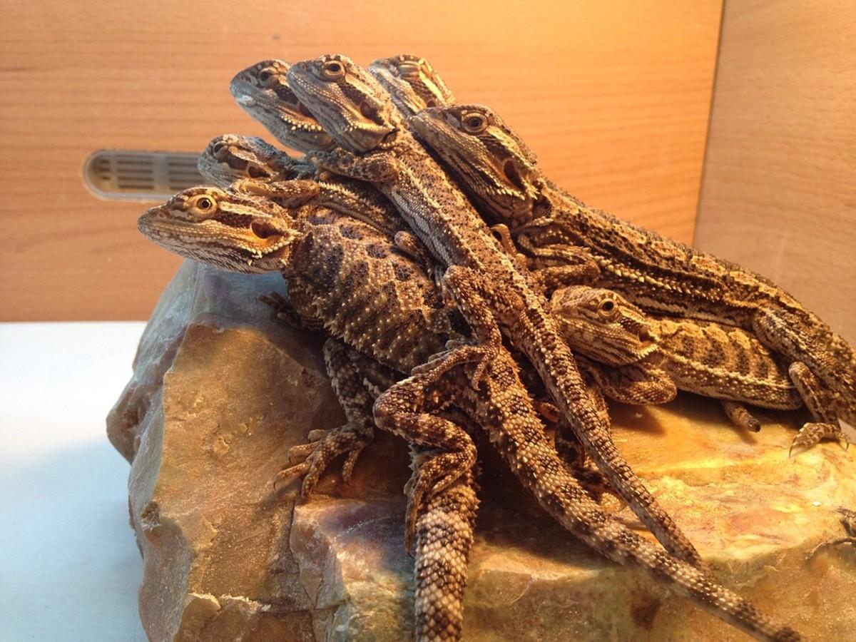 How Do Bearded Dragons Bask