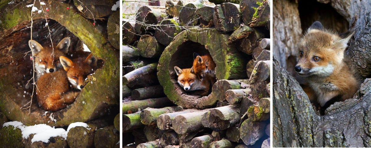 The fox living in urban areas