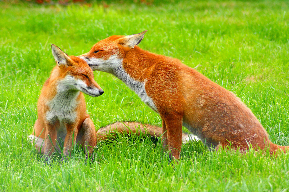 Male and Female Foxes