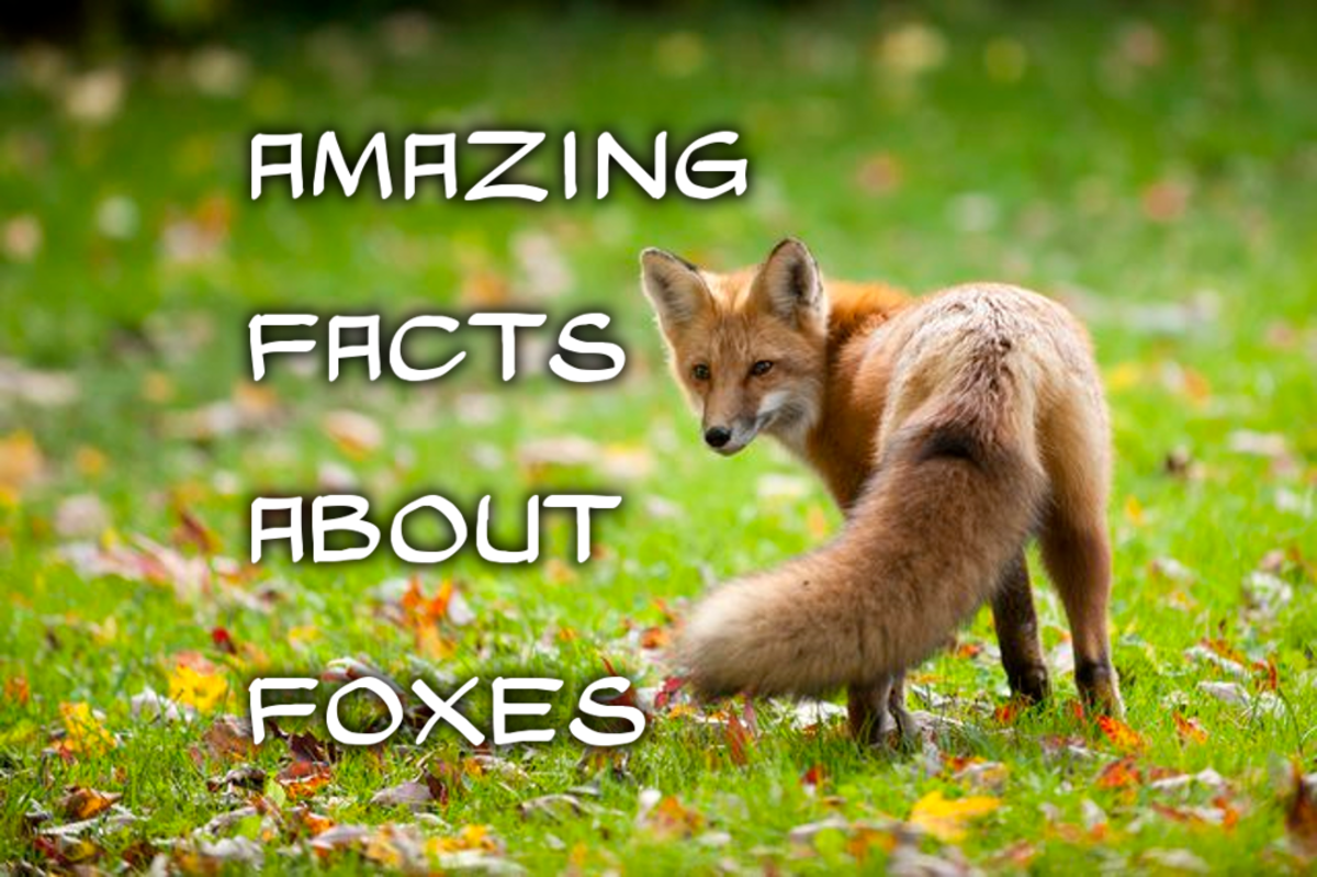 The 25 Interesting Facts About foxes