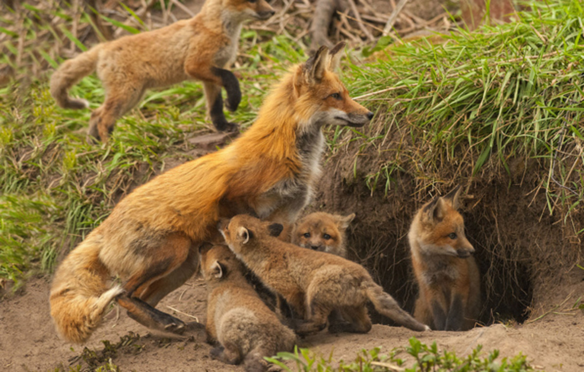 Mother Fox Feeding and Caring pups
