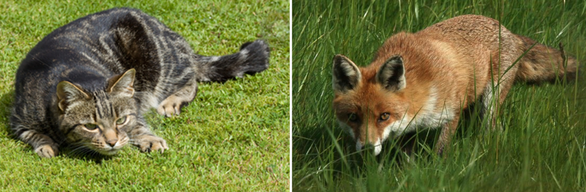Foxes have great eyesight, like cats.