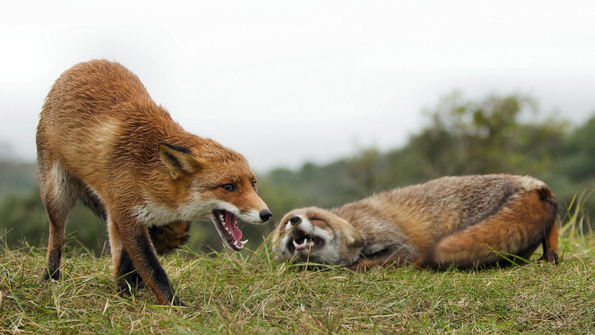 Female fox dominating other Female Fox of pack