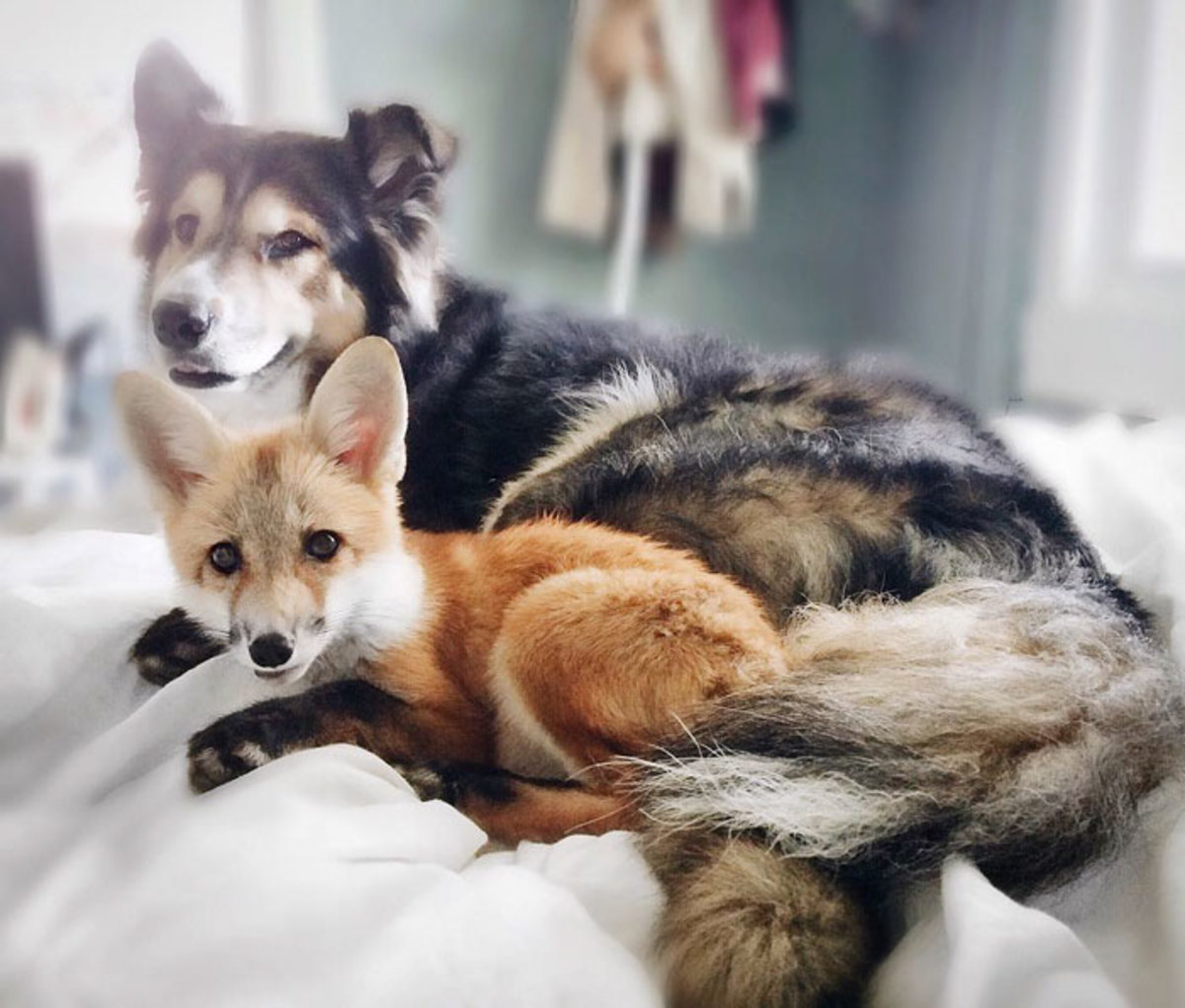 Fox bones are 30% lighter than Dogs
