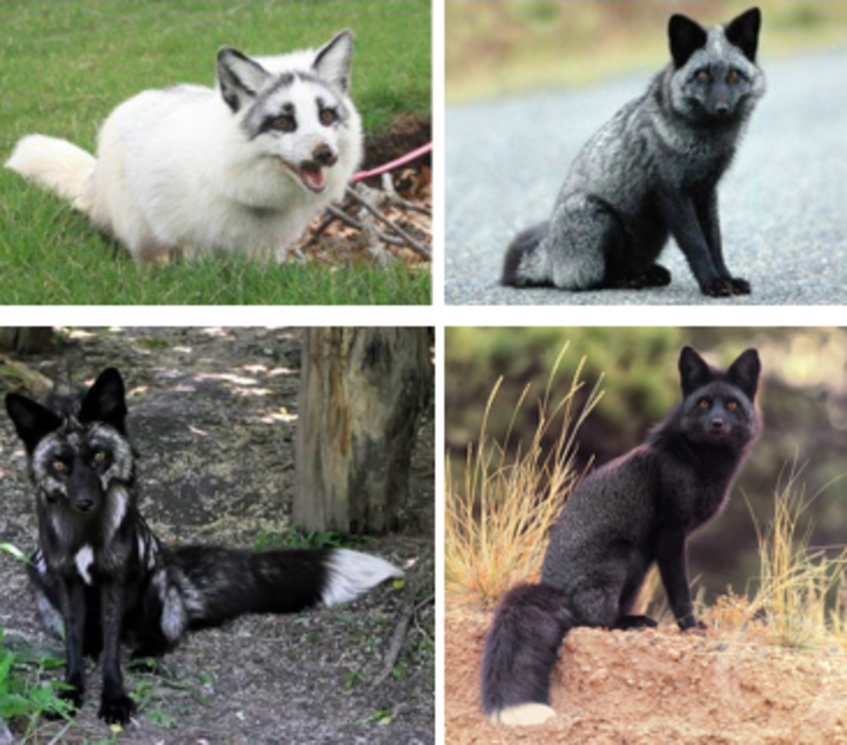 Russian Domesticated fox (Red Fox Color Mutation)