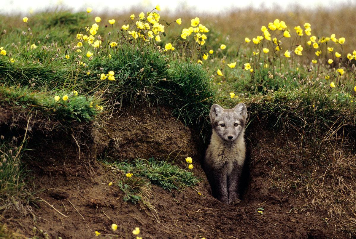 Fox living in wild
