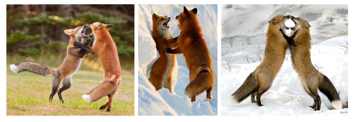 Male Fox Fight to protect their mating partner, from other male foxes
