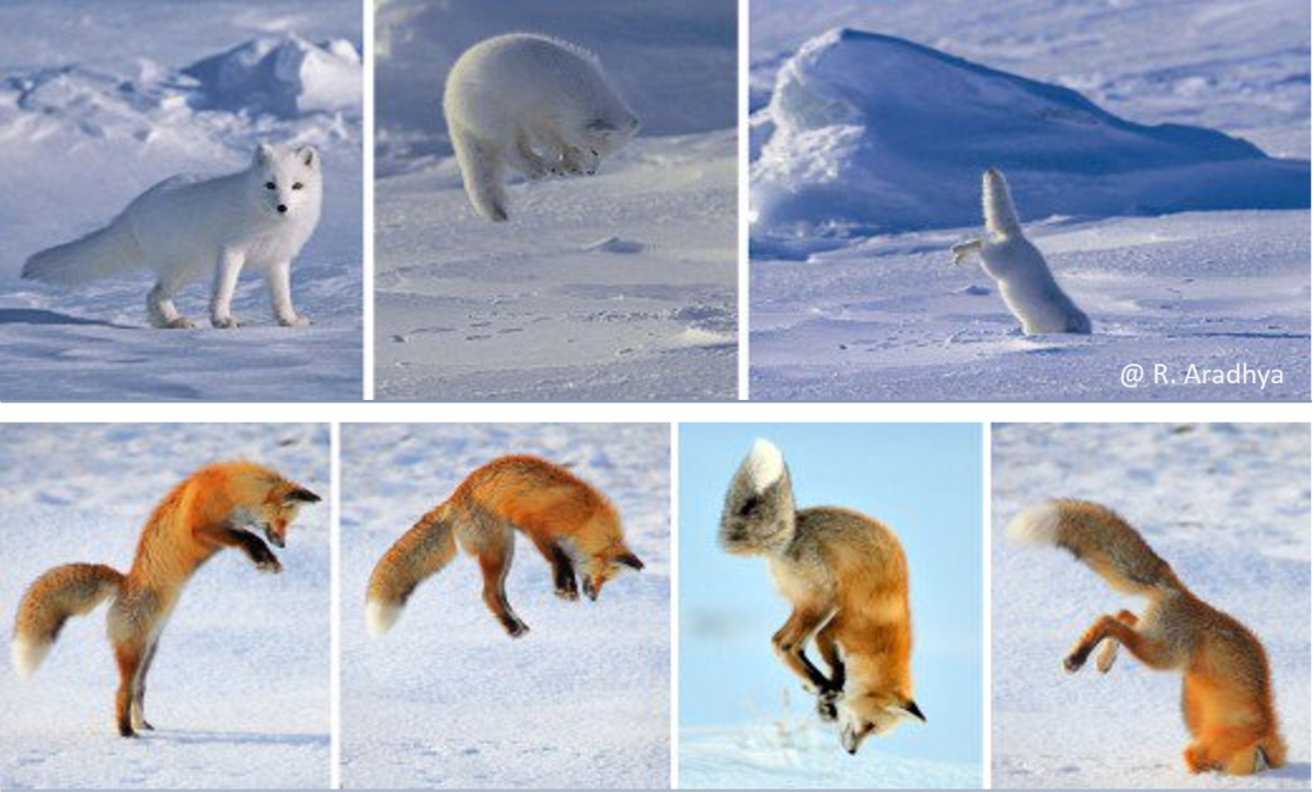 Foxes mostly jump in a north-easterly direction to hunt their prey in snow, during the winter.