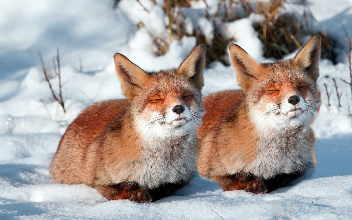 The fox couples (The pair of red foxes)